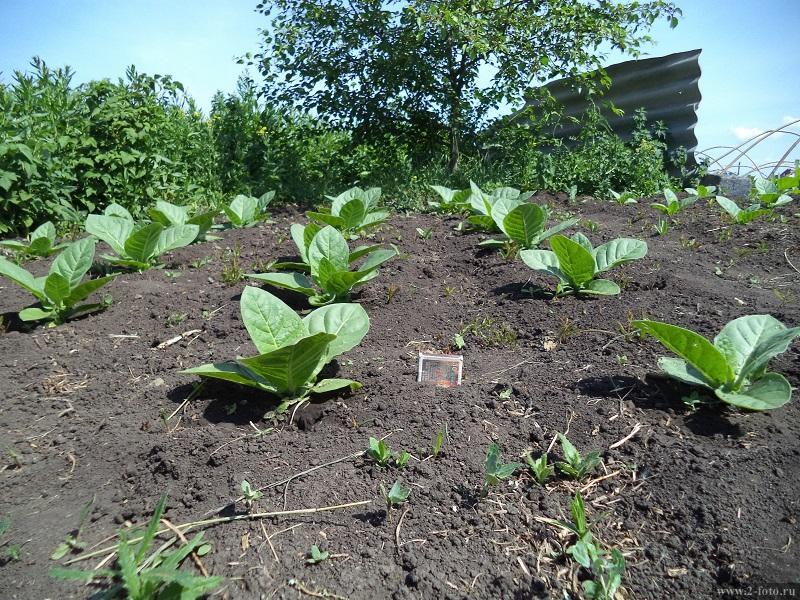 Технология выращивания табака на огороде 98