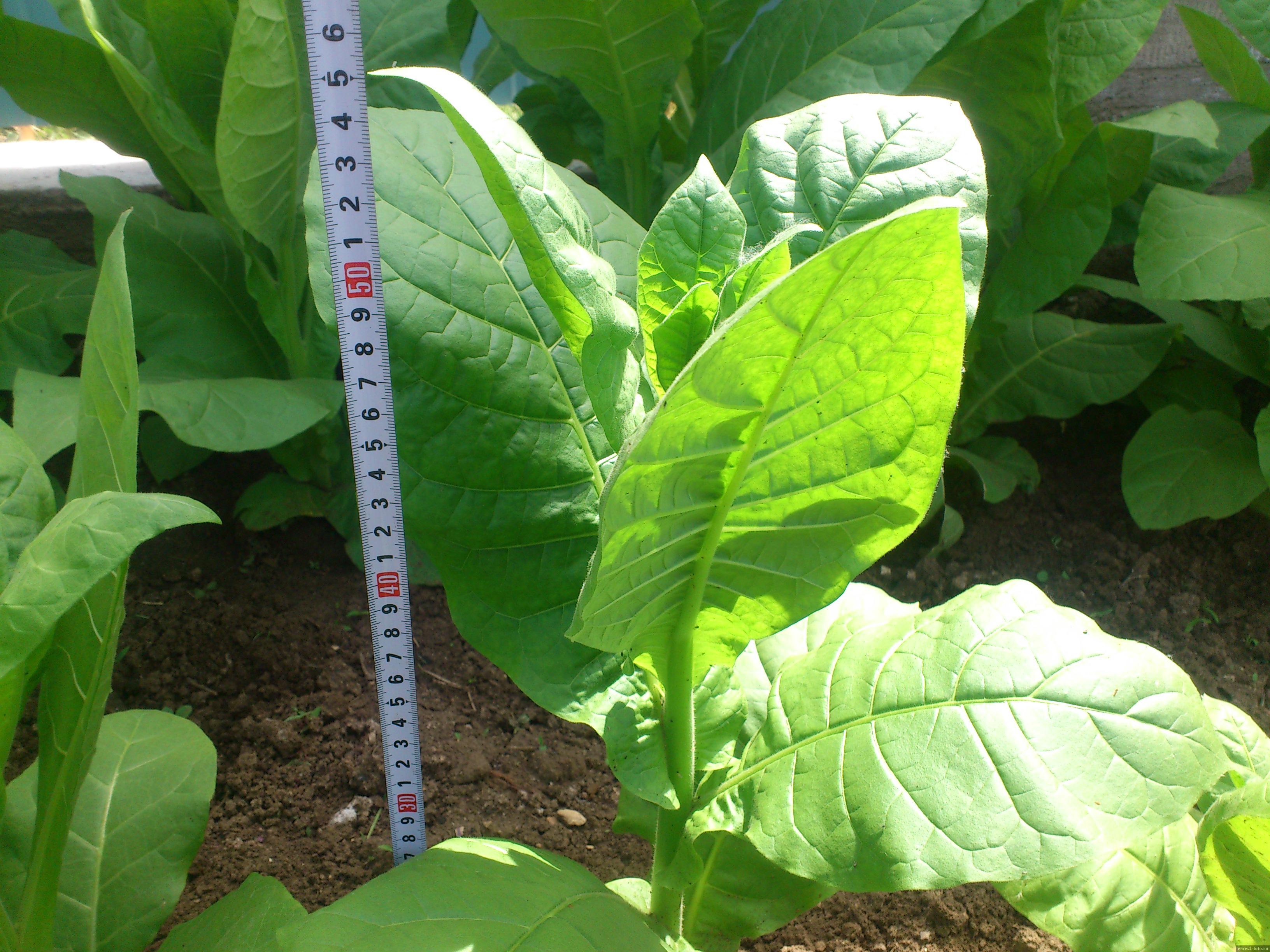Выращивание и обработка табака в домашних условиях 30